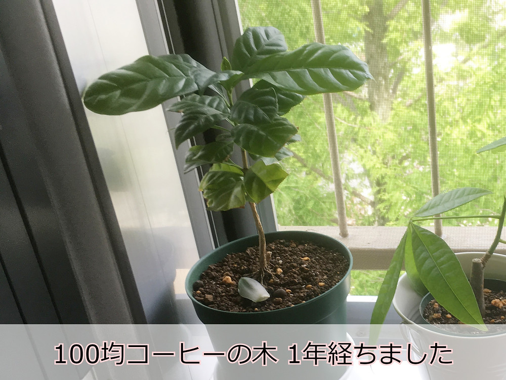 購入から1年たった100均コーヒーの木
