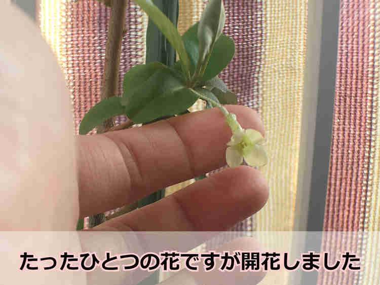 開花したビックリグミの花