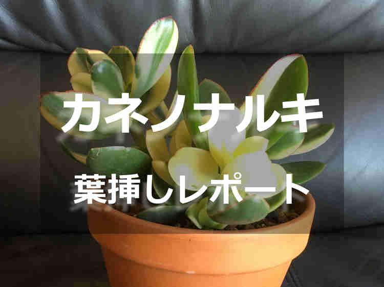 カネノナルキ(斑入り)