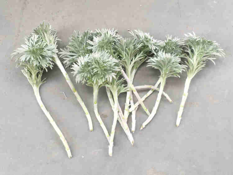 剪定したアサギリソウの茎