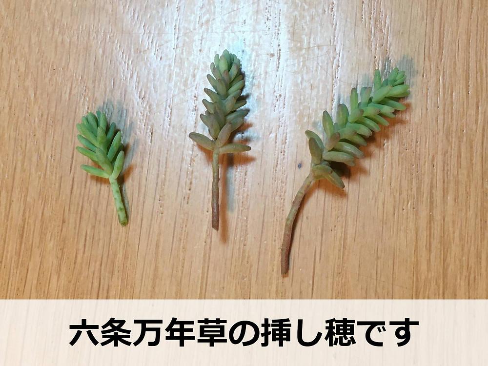 六条万年草の挿し穂