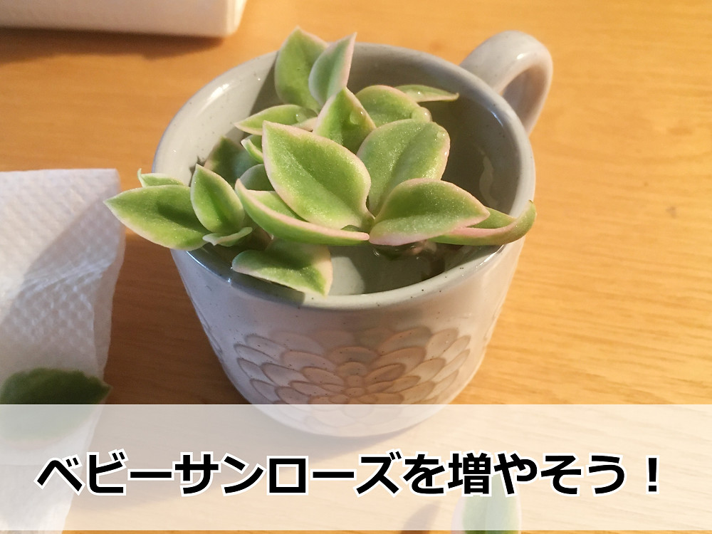 人気の多肉植物ベビーサンローズ(ハナツルソウ)