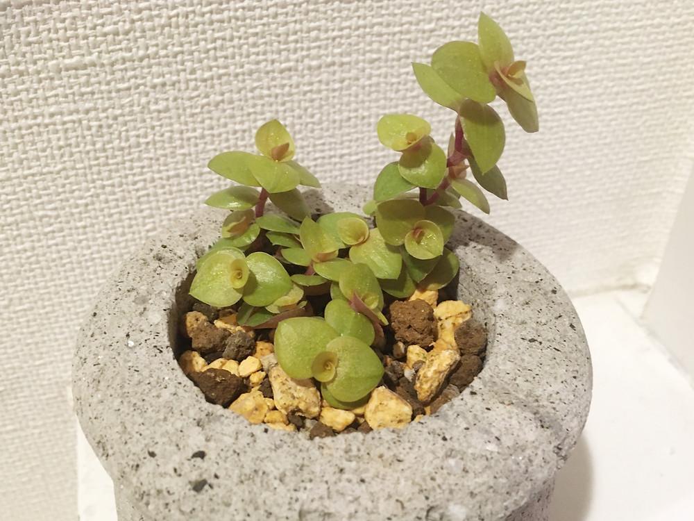カリシアの鉢植え