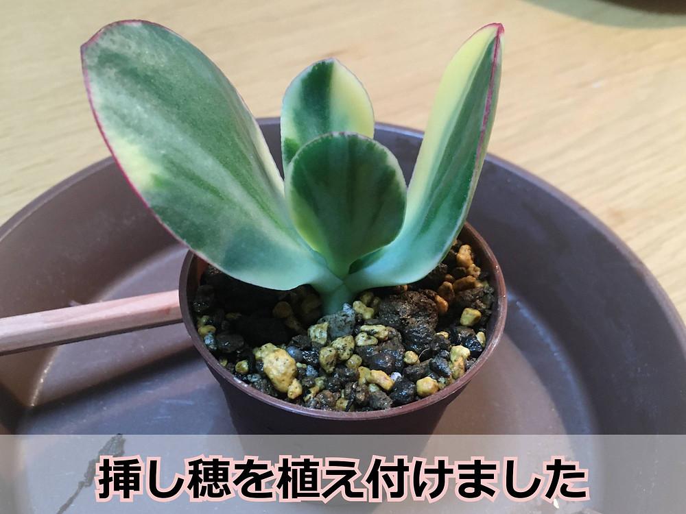 植え付け後の挿し穂