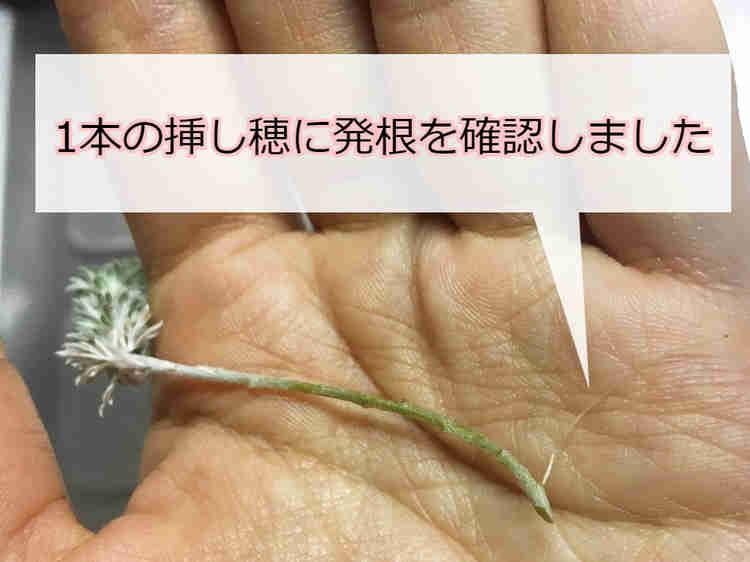 発根したアサギリソウの挿し穂