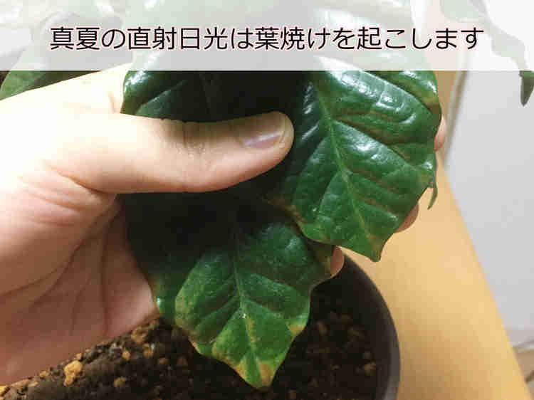 葉焼けで先端が茶色くなったコーヒーの木の葉