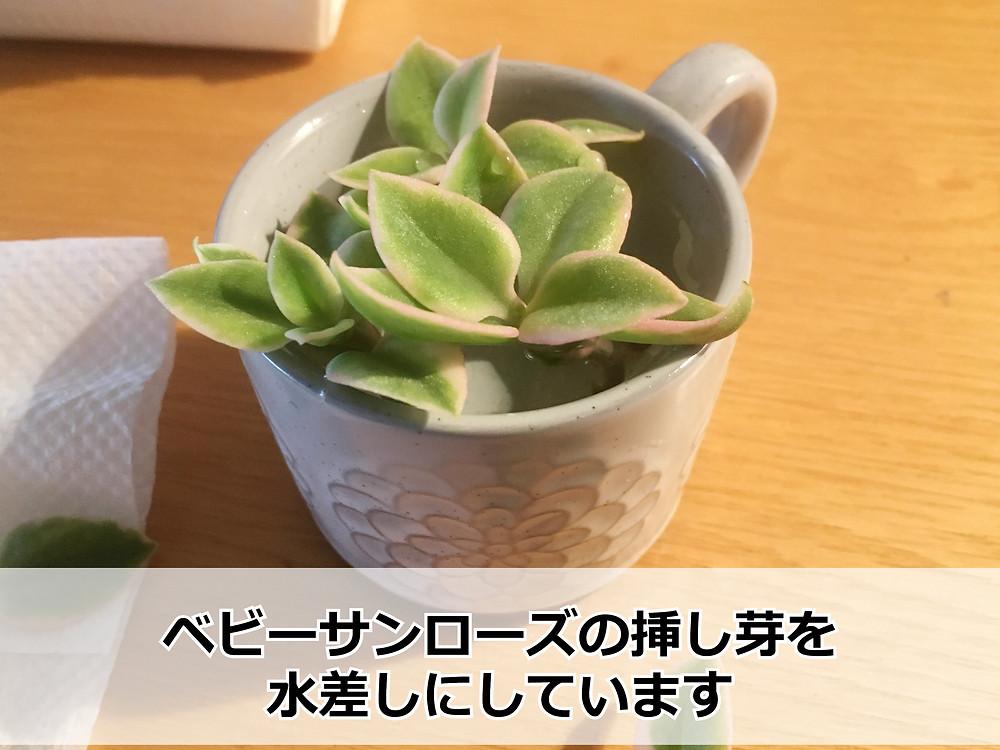 ベビーサンローズの水差し【水差し当日】