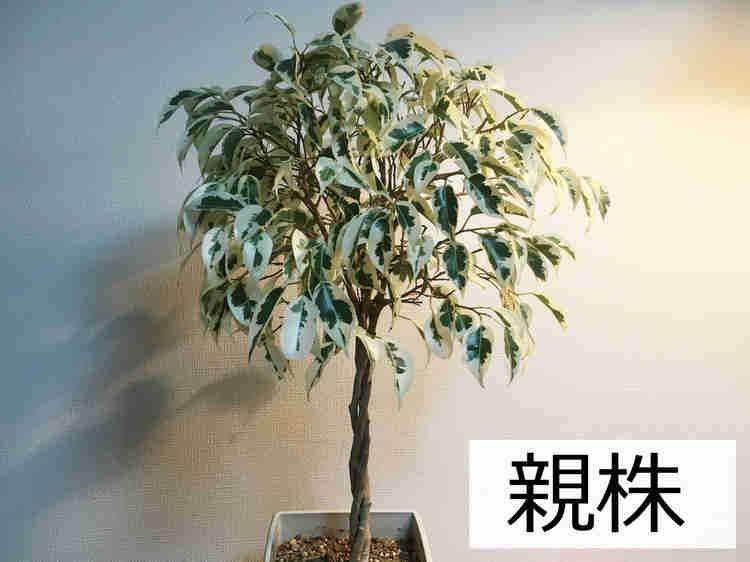 挿し木に利用するベンジャミン