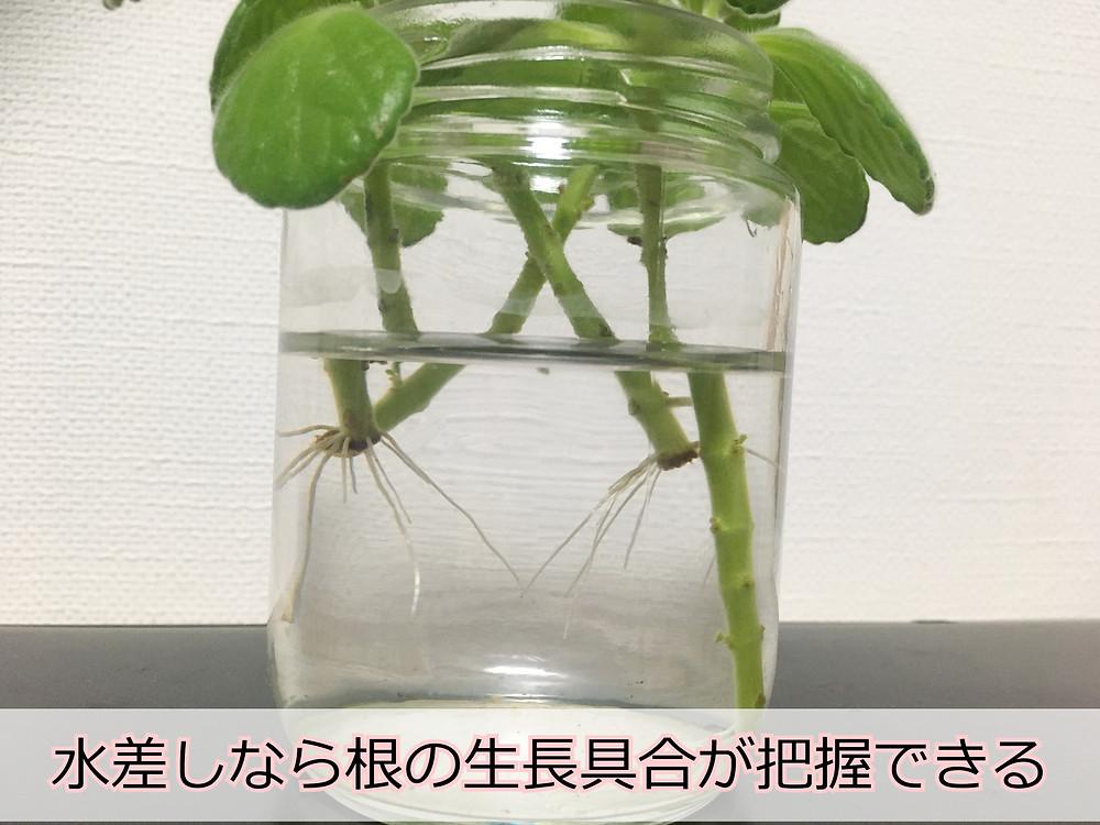 ガラス瓶から見えるアロマティカスの根っこ