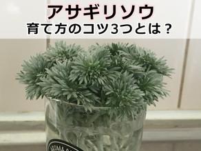 アサギリソウ 育て方のコツ3つ【ふわふわシルバーリーフ】