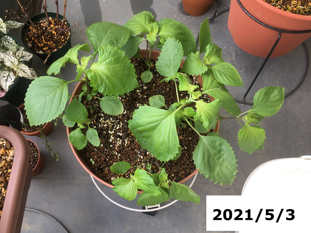 植え付けから3週間経ったシソ