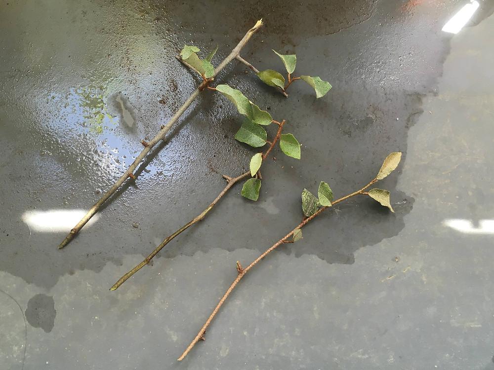 ナワシログミの挿し穂