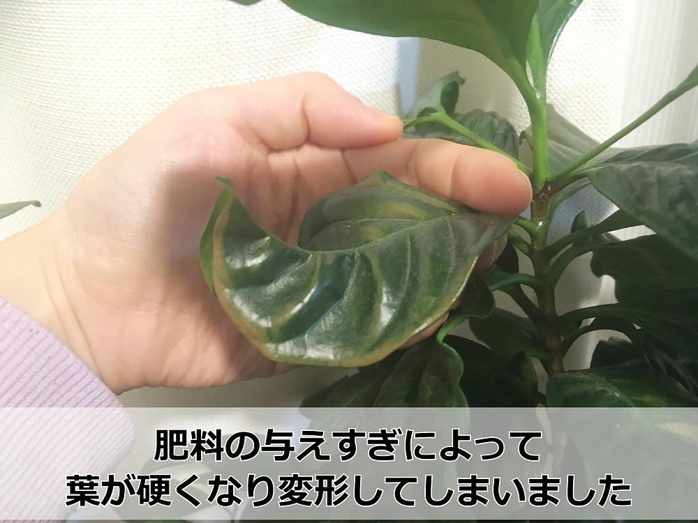 反り返ったコーヒーの木の葉