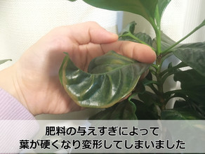 観葉植物 冬の水やりの方法!【管理のコツ3つと失敗例も】