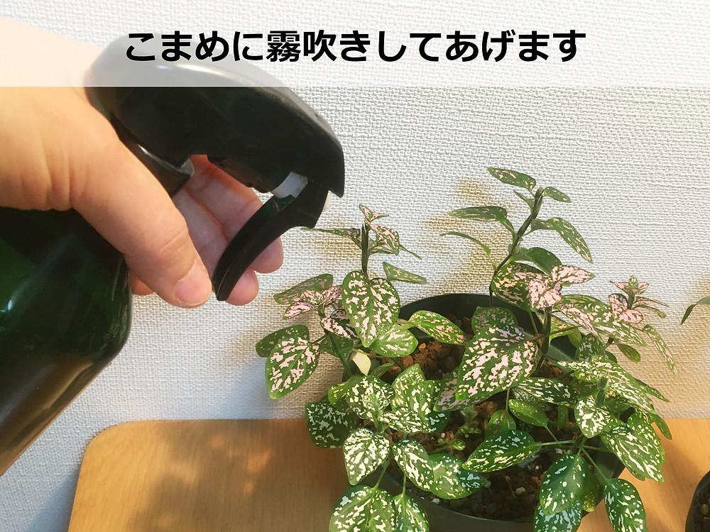 ヒポエステスは葉水が好き