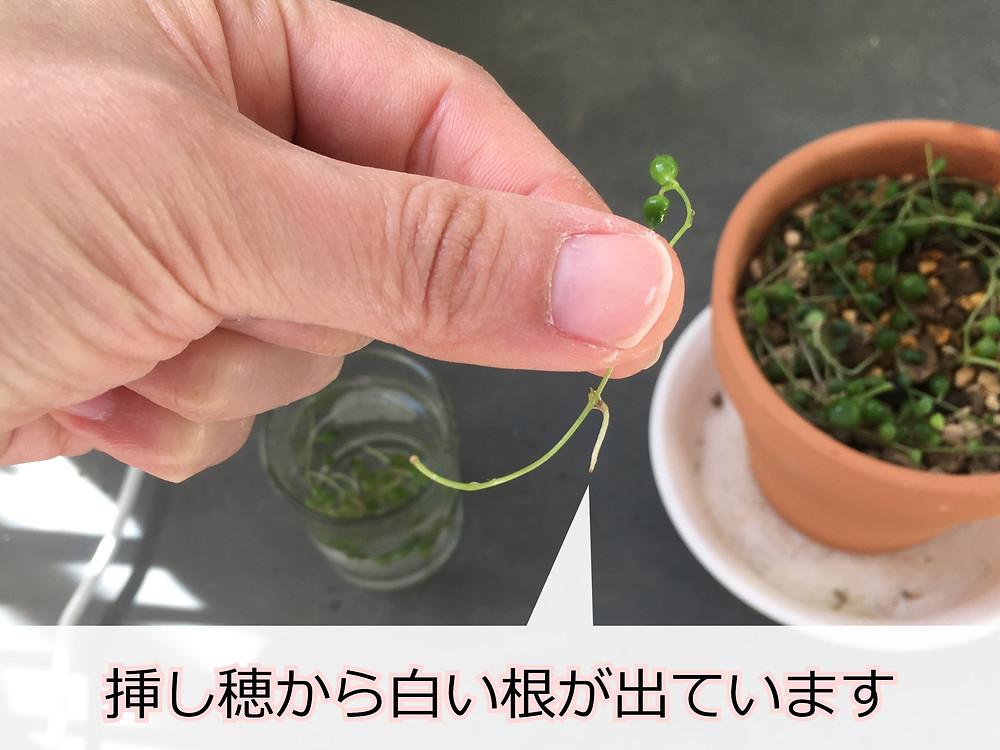 発根したグリーンネックレスの挿し穂
