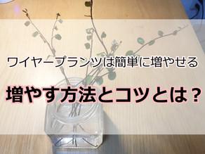 ワイヤープランツ 増やし方とコツ3つ【簡単】
