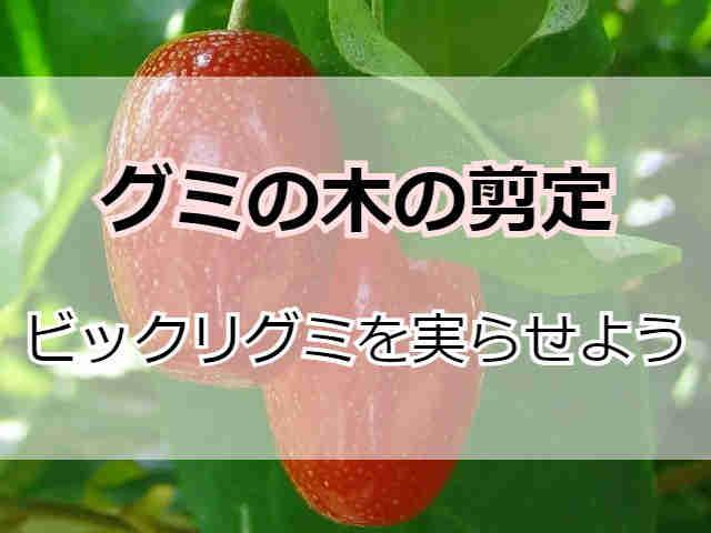 ビックリグミの木【実】