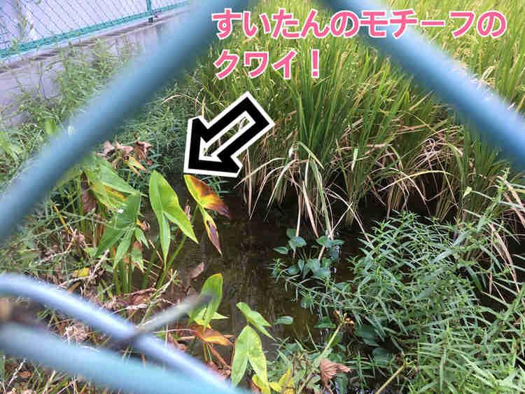 江坂駅前の田んぼの脇にクワイを発見(秋)