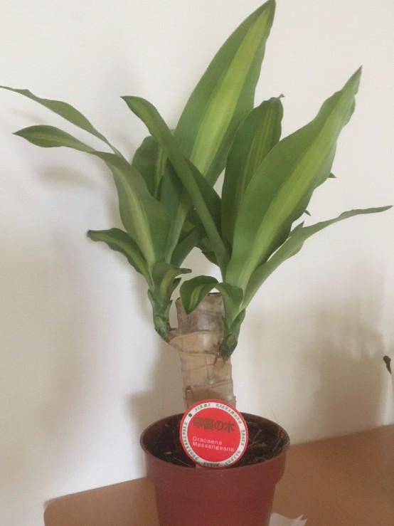 498円で購入した幸福の木