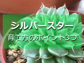 シルバースター 育て方のポイント3つ【ダイソー多肉】