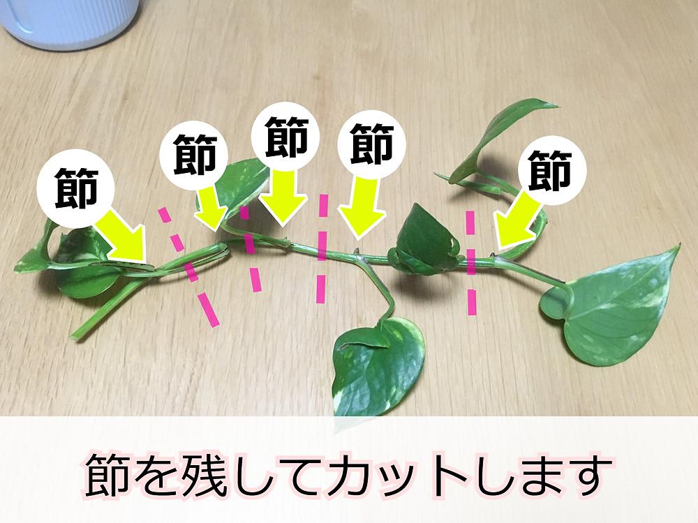 ポトスの挿し穂の取り方