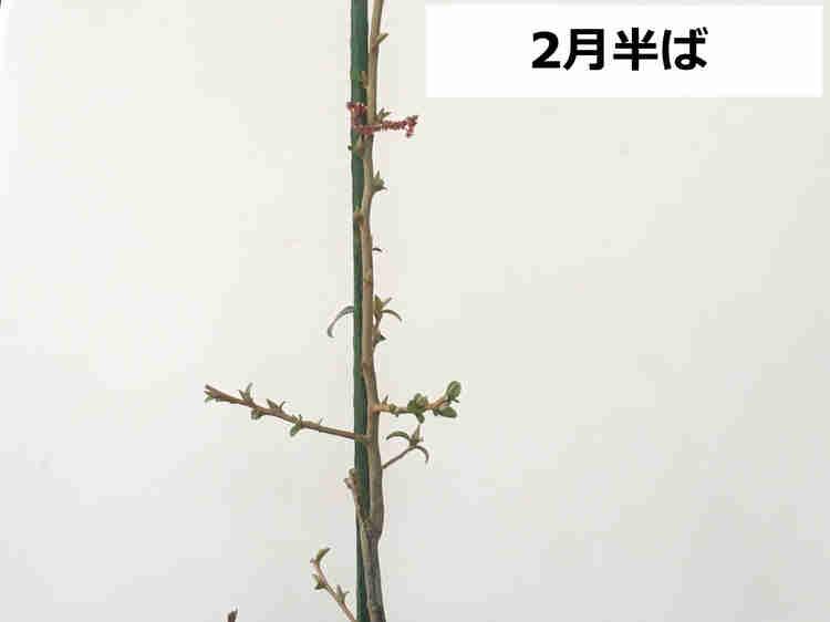落葉したビックリグミの木