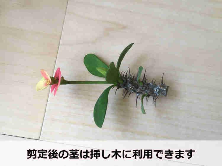ハナキリンの剪定した茎