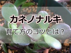 カネノナルキの育て方【花月 管理のコツ3つ】
