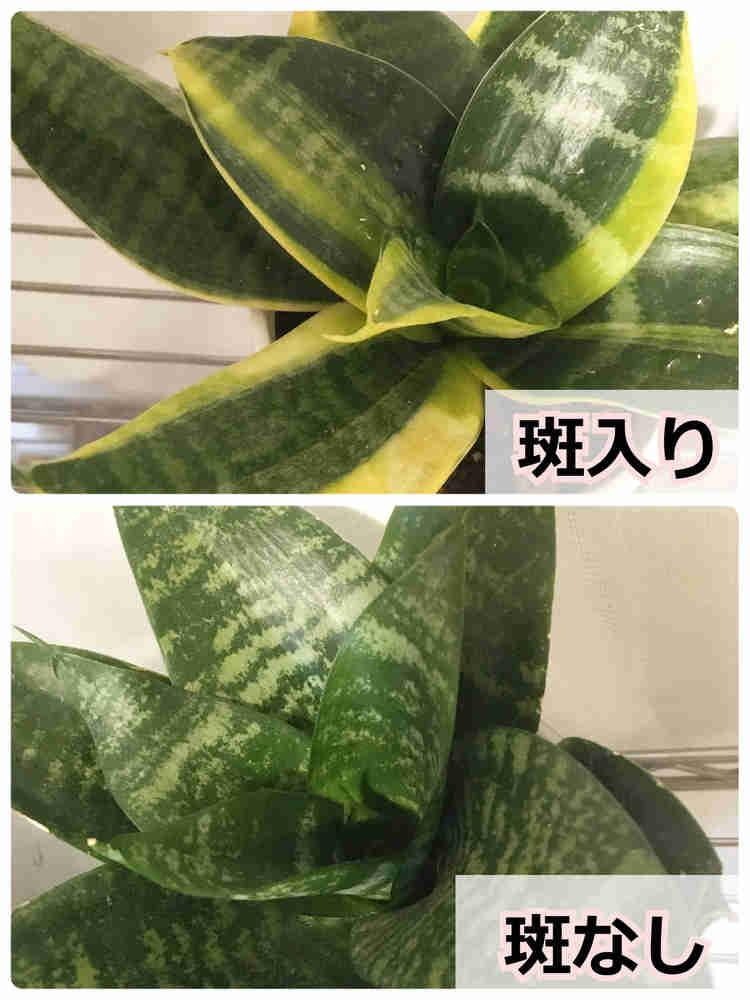 サンスベリアを葉挿しすると斑入り品種の斑は消えることが多い