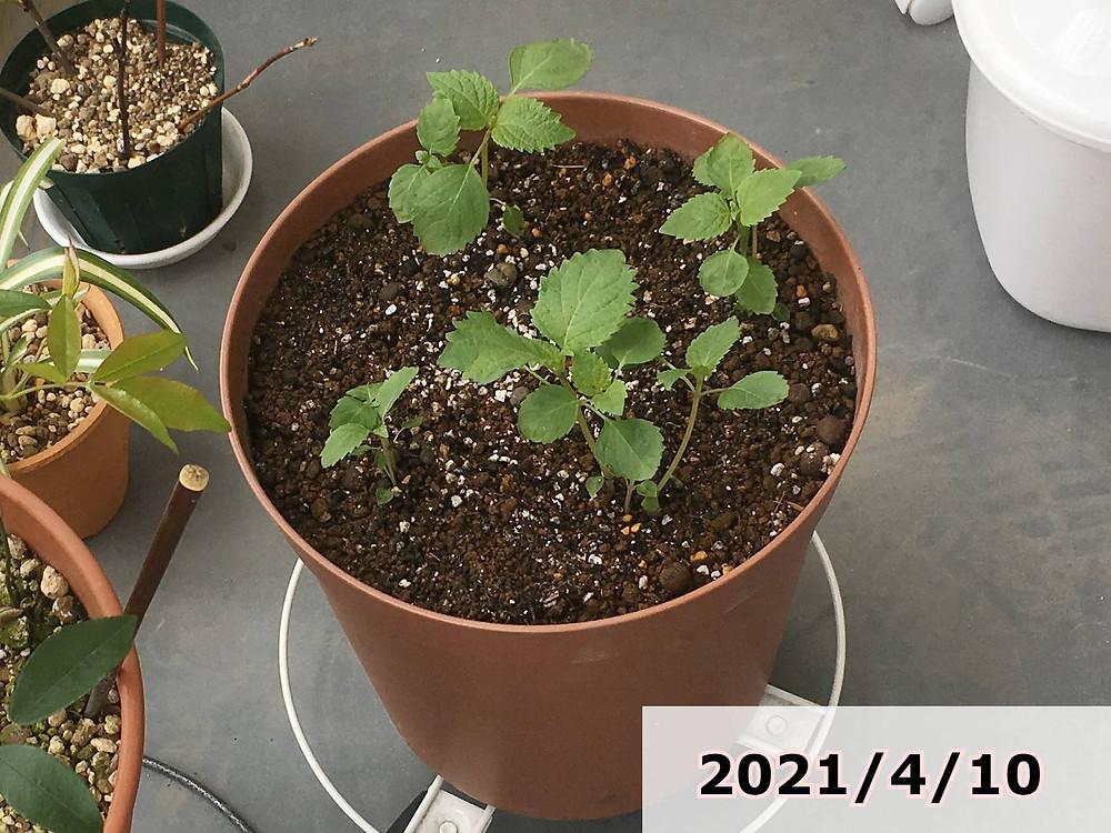 植え付け後のシソ