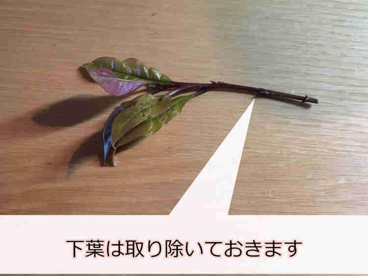 下葉を取ったキンモクセイの挿し穂