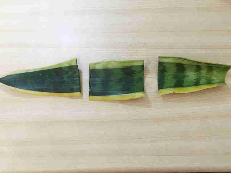 サンスベリアの葉(黄色い斑入り品種)