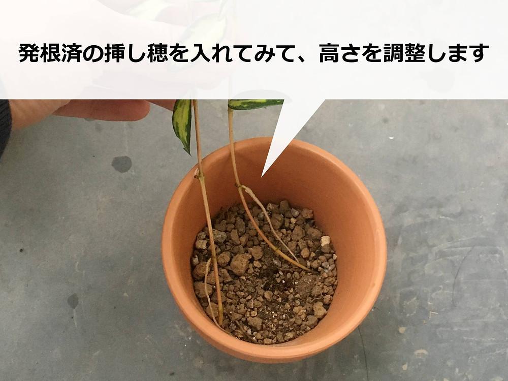 挿し穂を入れて土の量を調整中