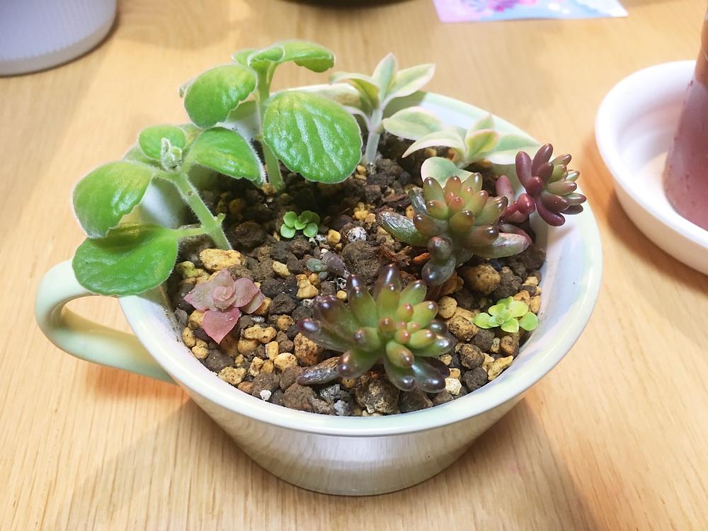 寄せ植えにしたベビーサンローズの挿し芽