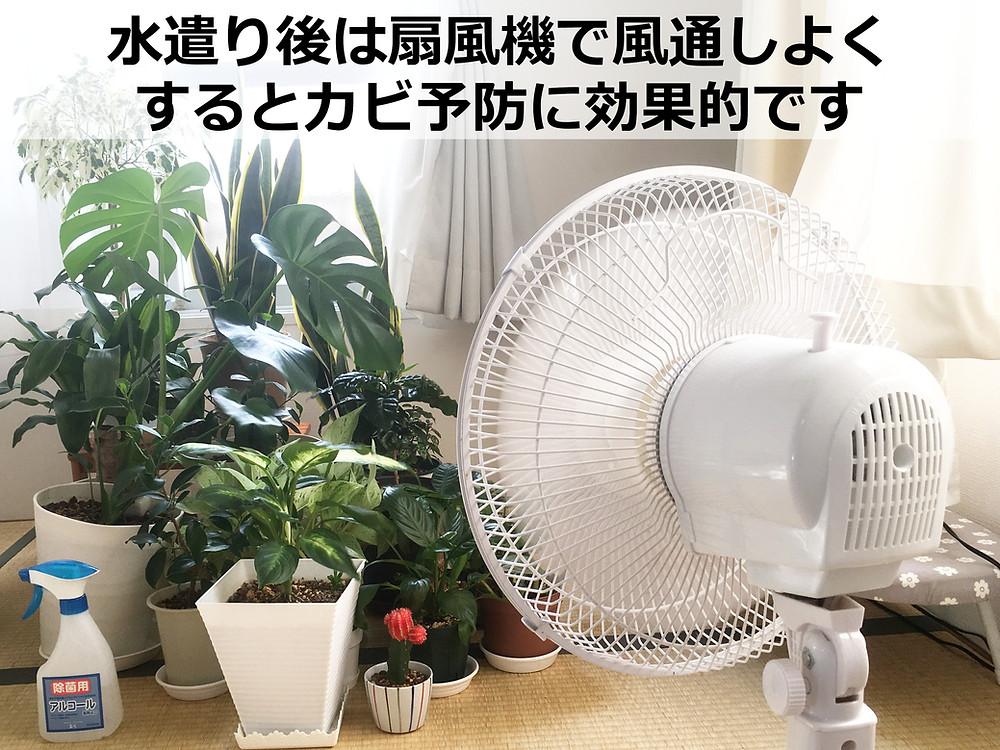 カビ予防として水遣り後の観葉植物に風を当てています