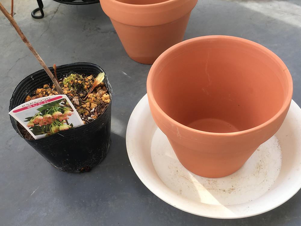 植え替え前のドウダンツツジ