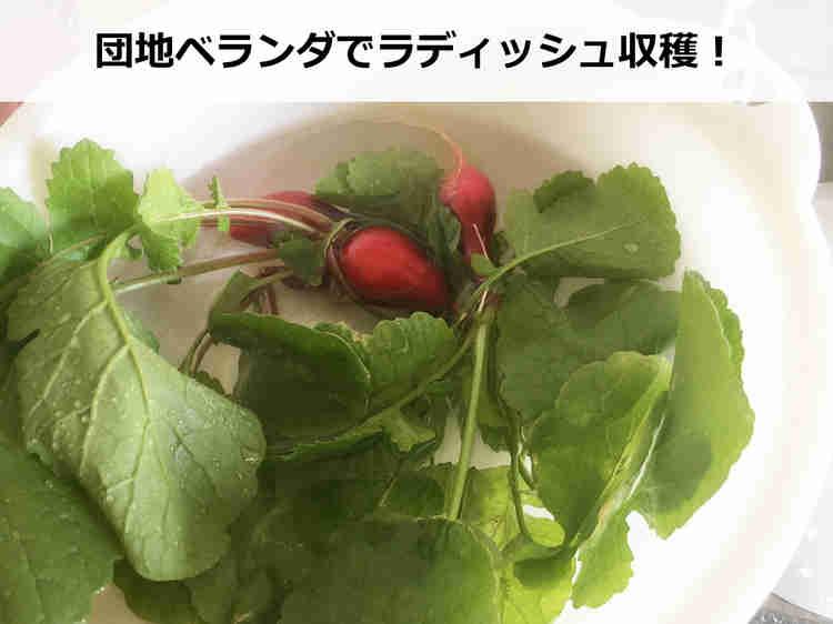 サラダとして食べるラディッシュ