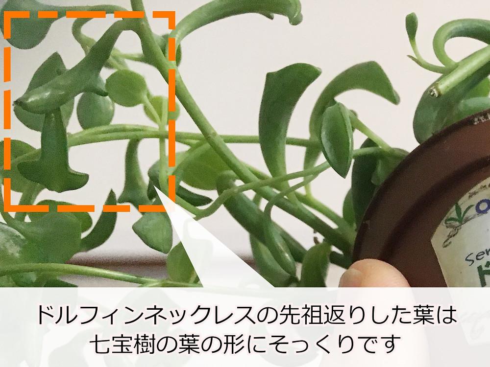 先祖返りしたドルフィンネックレスの葉は七宝樹の葉にそっくり