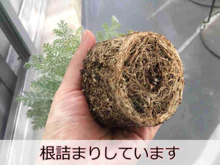 根が詰まって硬い根鉢(ねばち)