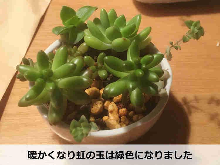 生長した緑色の虹の玉【植え替え前】