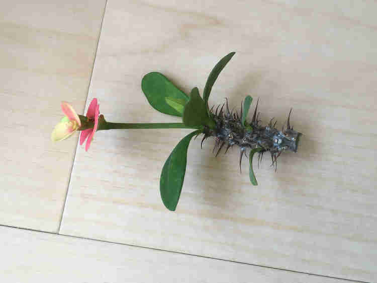 挿し木に使用するハナキリンの挿し穂