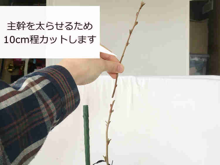 剪定中のグミの木(ビックリグミ)