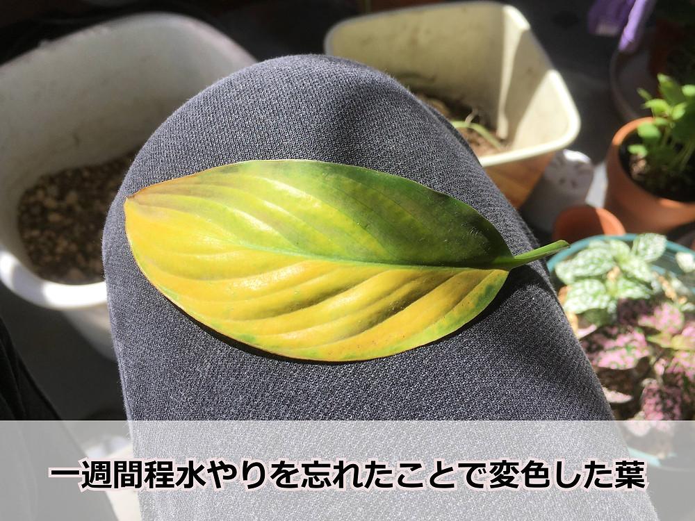 水切れによって変色したスパティフィラムの葉