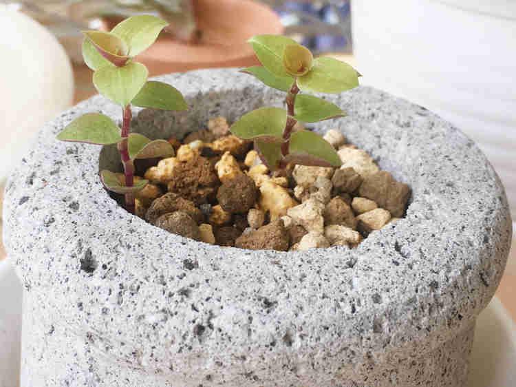 鉢植えにしたカリシアの挿し穂