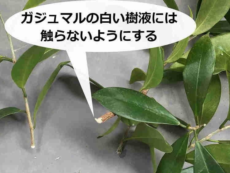 枝の断面からににじみ出るガジュマルの白い樹液