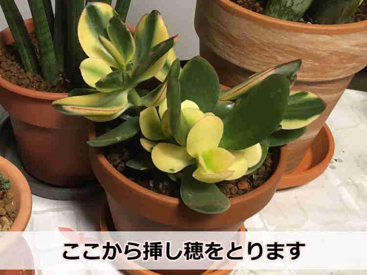 カネノナルキ(親株)
