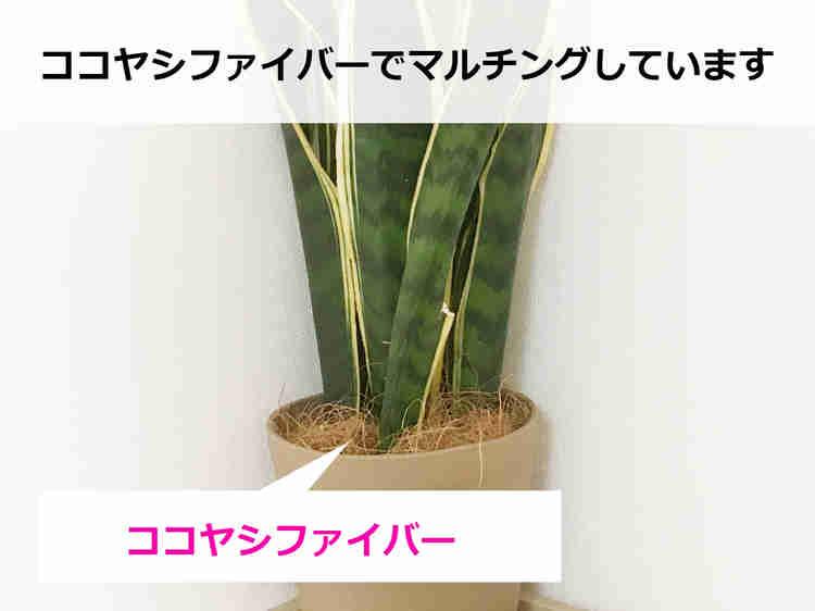 ココヤシファイバーでマルチングした観葉植物