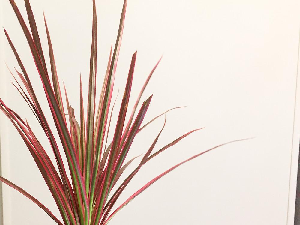 乾燥気味に管理中の冬場のドラセナレインボー