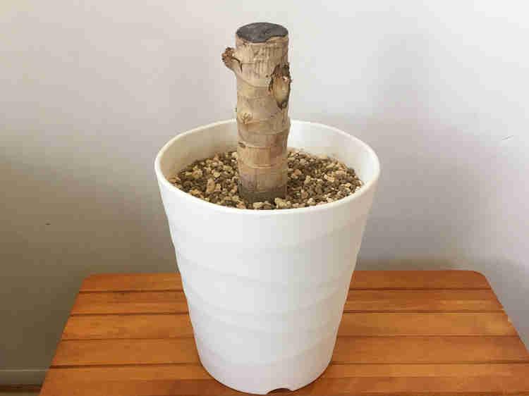 丸坊主にした幸福の木